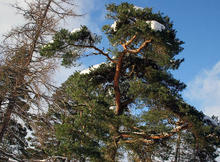 Scots_Pine_in_Snow_094