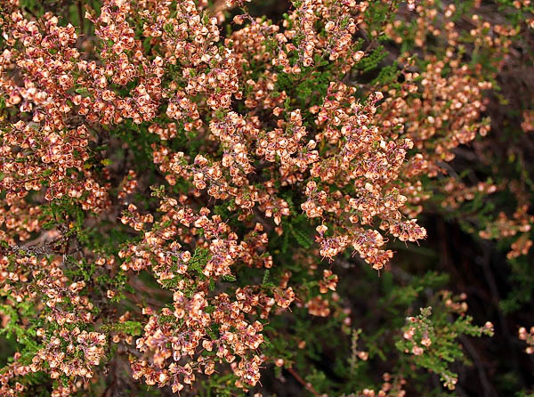 braemar_autumn_heather_107
