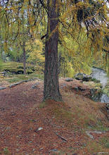 larch_autumn_211