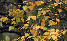 silver_birch_autumn_318