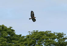 Loch_of_Strathbeg_Buzzard_074